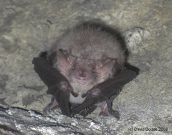 Hibernating Brown Long-eared Bat